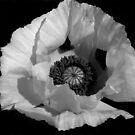 White Poppy by Samantha Higgs