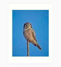 Perched Northern Hawk Owl  Art Print