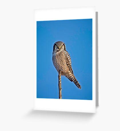 Perched Northern Hawk Owl  Greeting Card