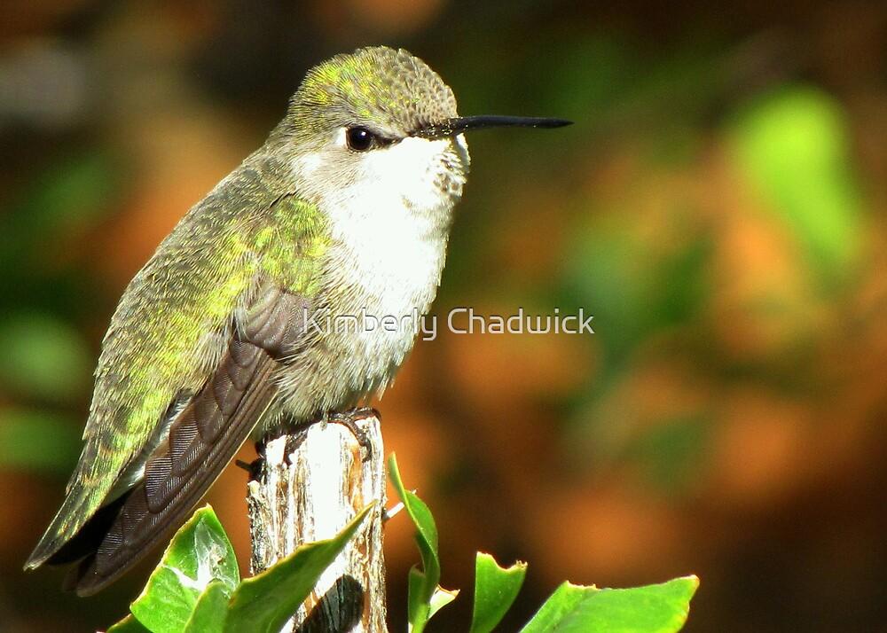Hummingbird ~ Costa's (Female) by Kimberly Chadwick