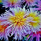 The star chrysanthemums by kindangel