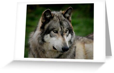 A WOLF PORTRAIT by yair  leibovich