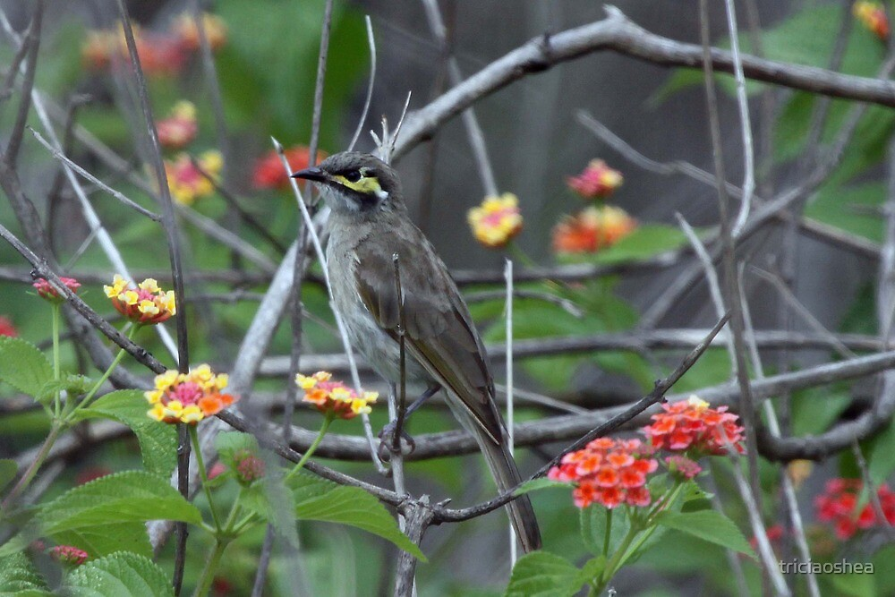 Yellow-faced Honeyeater by triciaoshea