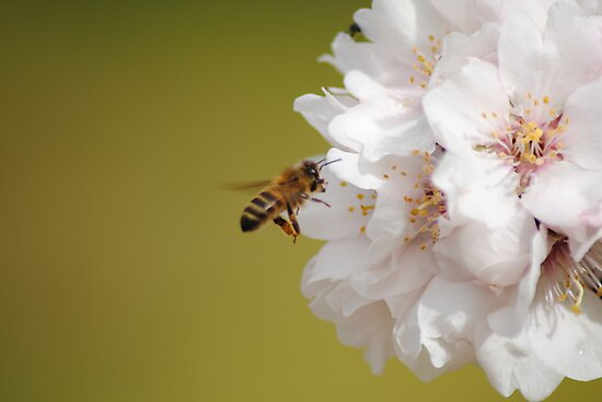 Bee in flight, collecting Pollen by Heather Samsa
