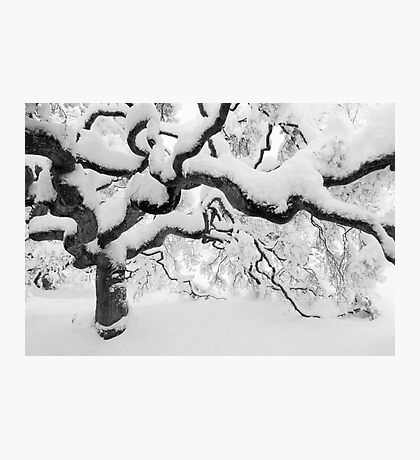 Japanese Maple Tree Photographic Print