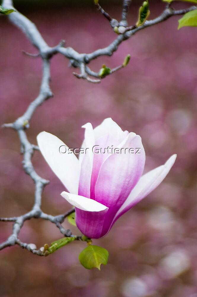 u0026quot pink magnolia blossom u0026quot  by oscar gutierrez