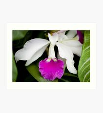 White and Pink Orchid Art Print