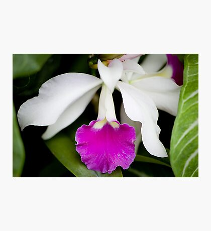 White and Pink Orchid Photographic Print