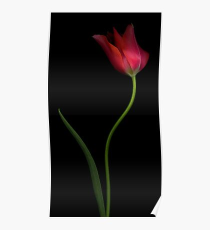 Curving Pink Tulip Poster