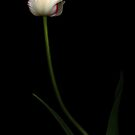 White Parrot Tulip by Oscar Gutierrez
