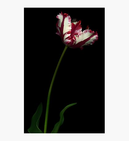 White and Red Tulip I Photographic Print