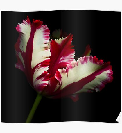 White and Red Tulip II Poster