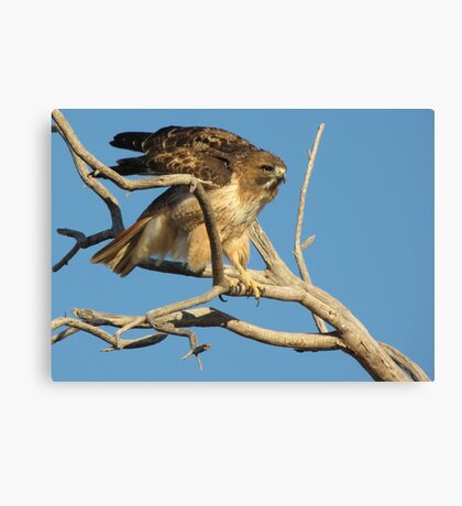 Red-tailed Hawk ~ Adjustment Canvas Print