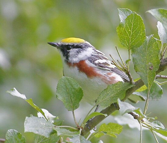 Chestnut-sided Warbler by Enola Wagner