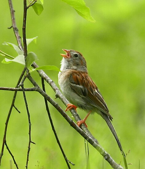 Field Sparrow by Enola Wagner