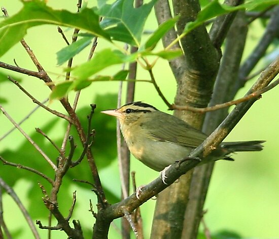 Worm-eating Warbler by Enola Wagner