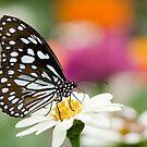 Blue Tiger Butterfly by Oscar Gutierrez