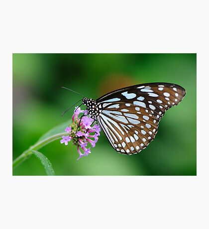 Blue Tiger Butterfly Photographic Print