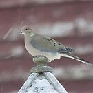 Snowy Dove by Forrest Tainio