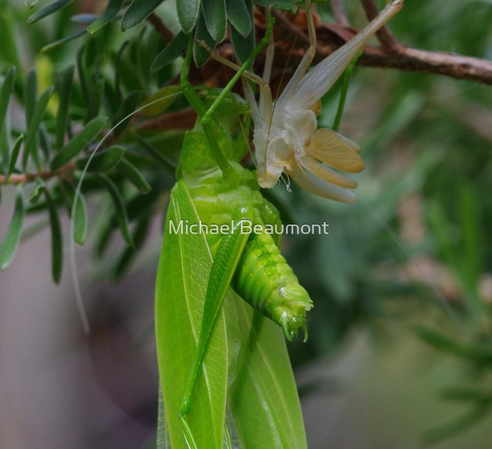 Bush Cricket (Katydid) by Michael Beaumont
