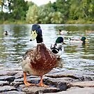 Duck at the river bank 2 by Lenka Vorackova