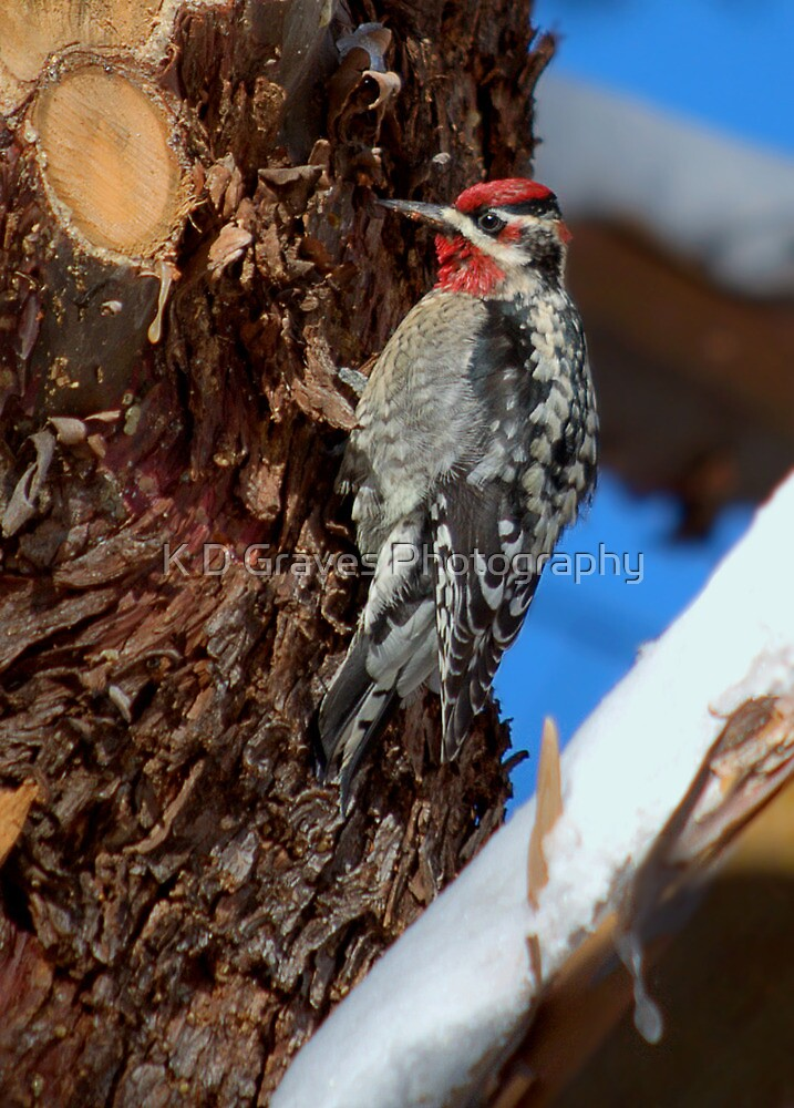 The Red Naped Sapsucker by K D Graves Photography