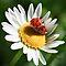 A ladybird on a flower in macro $ 20 voucher!