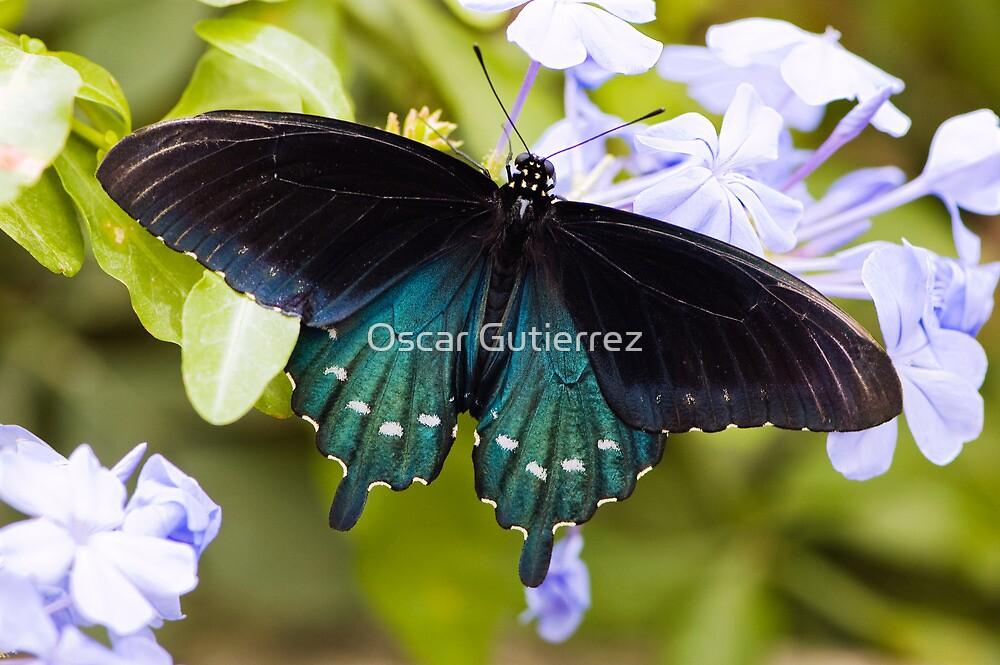 Pipevine, Swallowtail Butterfly by Oscar Gutierrez