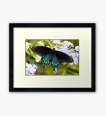 Pipevine, Swallowtail Butterfly Framed Print