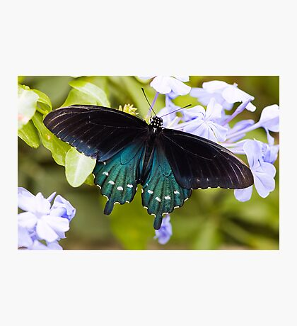 Pipevine, Swallowtail Butterfly Photographic Print