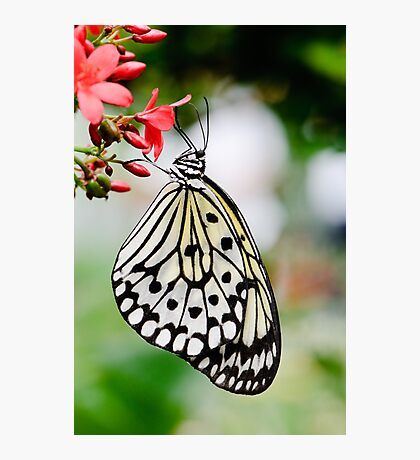 White Butterfly Photographic Print