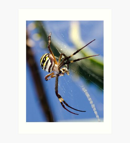Southern Cross Spider Art Print