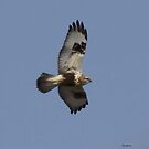 Rough legged Hawk by Dennis Cheeseman