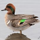 The Male Green-winged Teal by DigitallyStill