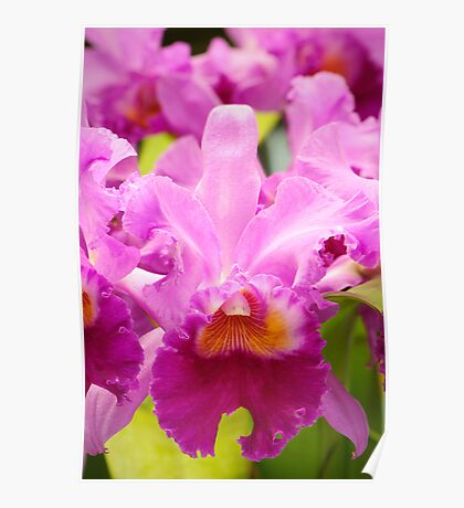 Pink Cattleya Orchids Poster