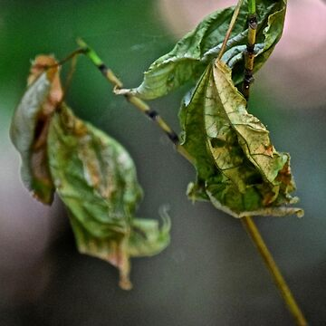 two wrinkled leaves by sbackman