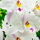 White Odontioda Orchid by Oscar Gutierrez