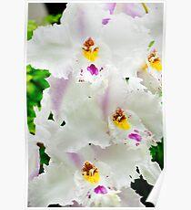 White Odontioda Orchid Poster