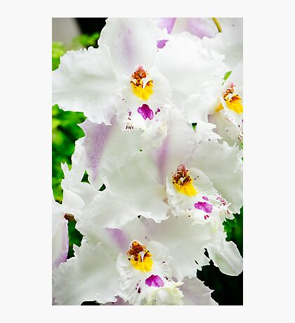 White Odontioda Orchid Photographic Print