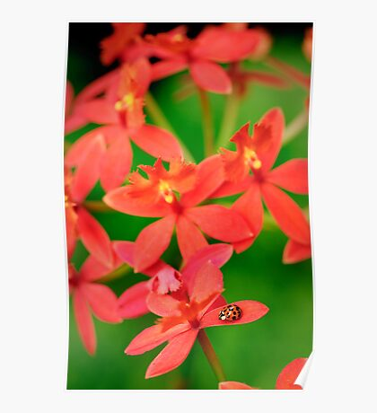 Lady Bug on Orange Orchid Poster