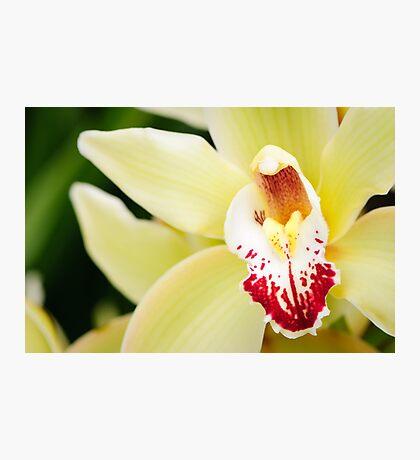 Pale Yellow Cymbidium Orchid Photographic Print