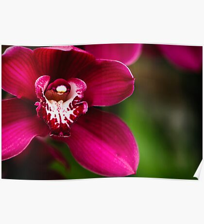 Red Cymbidium Orchid Poster