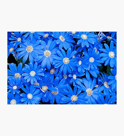 Blue Daisies Photographic Print