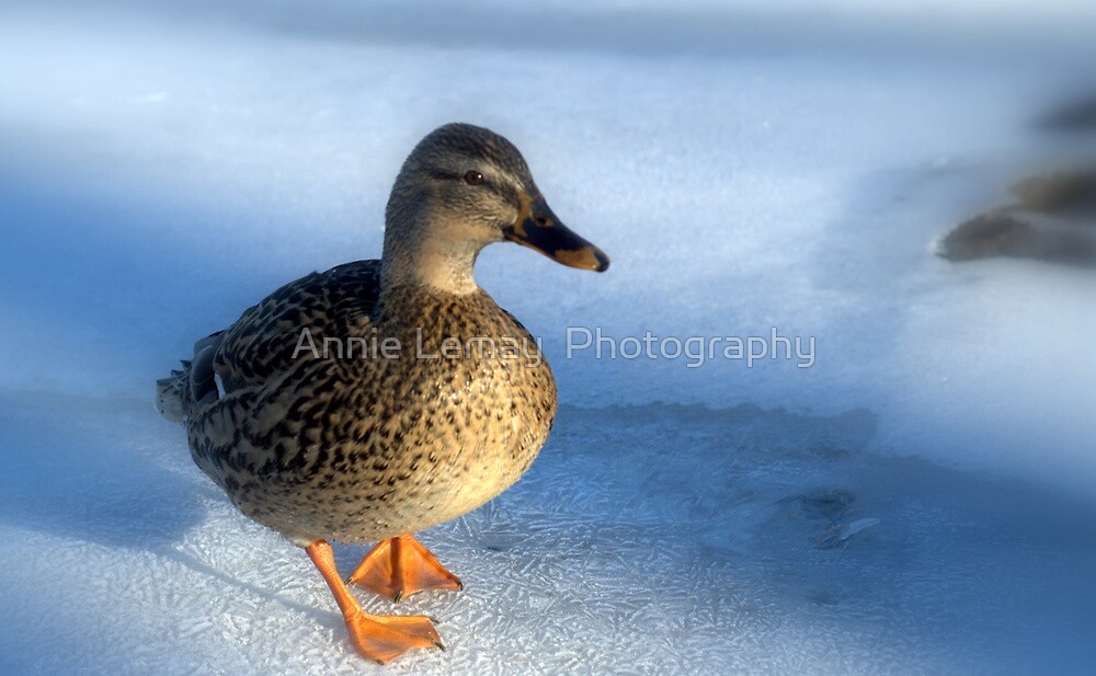 Quack by Annie Lemay  Photography