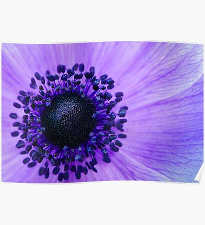 Purple Anemone Poppy Poster