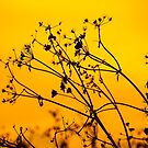 Golden Silhouette by Dave Hare