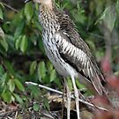 Bush Thick-knee by triciaoshea