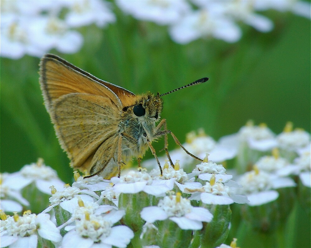 Dion Skipper yarrow blossoms by mgpphotography