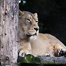 Sleepy Lioness by AnnDixon