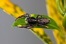 Chink Jumping Spider - Holoplatys complanata, Back study by Normf